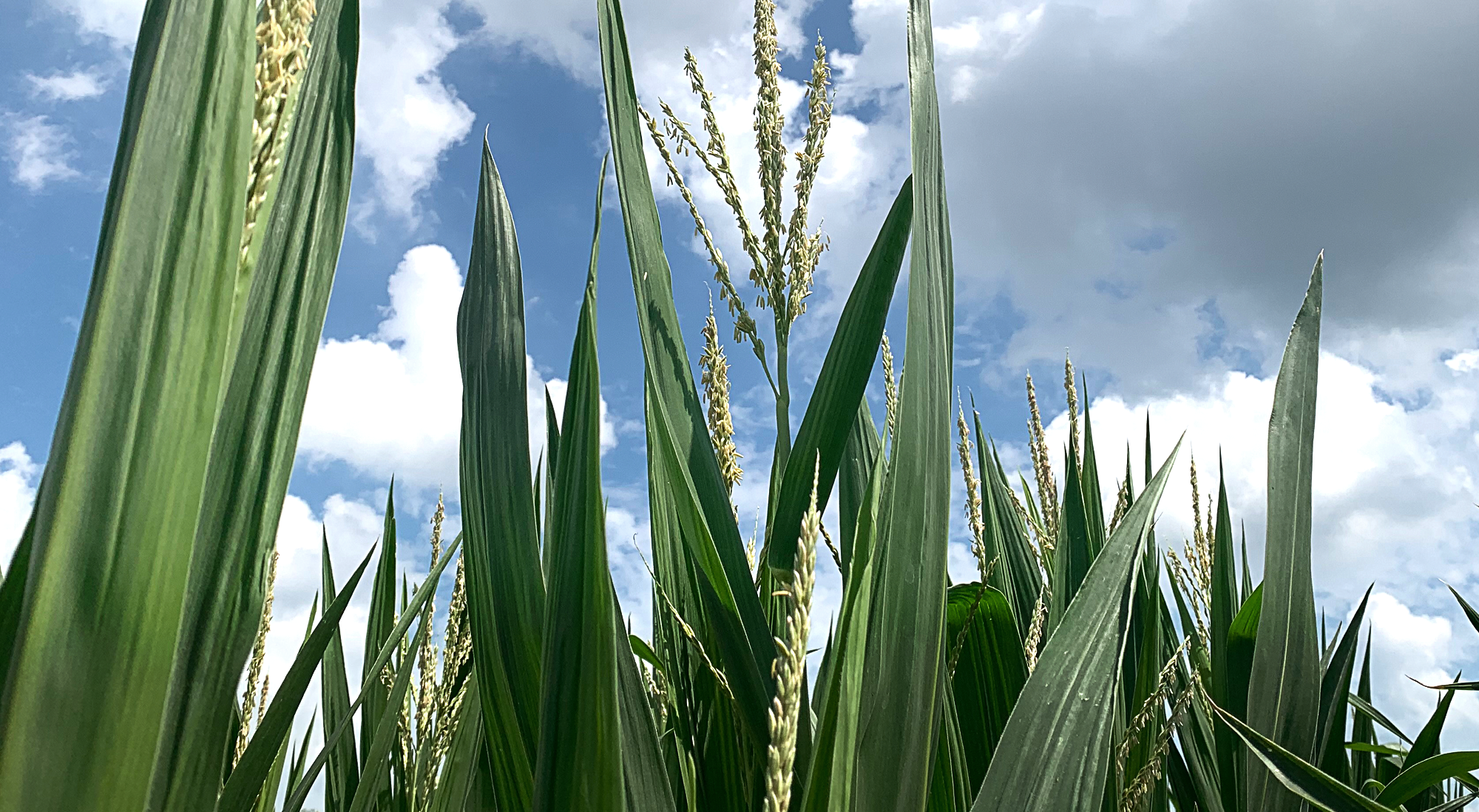 Corn growing at Archer Malmo Acres
